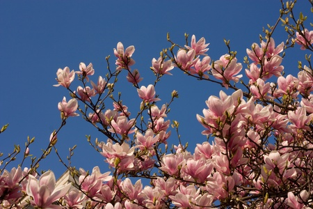 magnolia with blue sky background. Stock Photo - 13051880