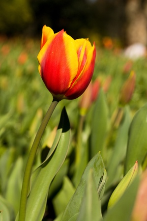 red and yellow tulip Stock Photo - 13051754