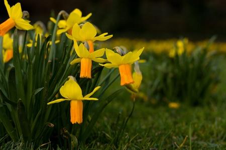 daffodil Stock Photo - 13074609