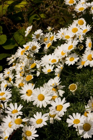 daisy Stock Photo - 13246166