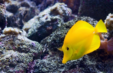 Yellow Tang or Zebrasoma Flavescens photo