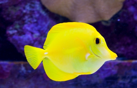 wildllife: Yellow Tang or Zebrasoma Flavescens
