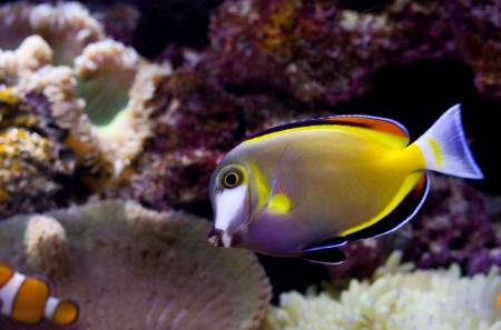 Powder brown tang or Acanthurus japonicus photo