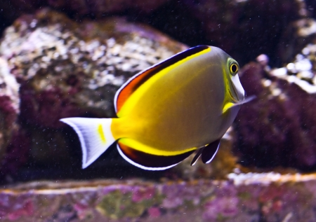 Powder brown tang or Acanthurus japonicus Stock Photo - 17325684