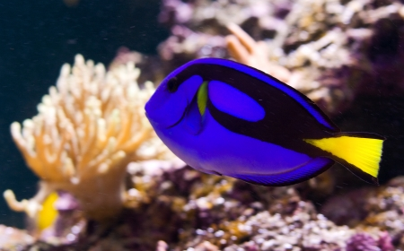 Blue Tang or Paracanthurus hepatus Stock Photo