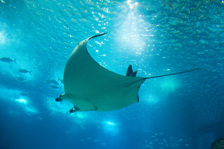 marine environment: Ray Stock Photo