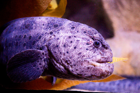 live coral: wolf-eel Stock Photo