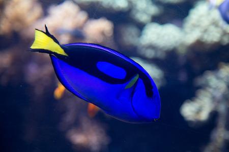 tang: palette surgeonfish  blue tang