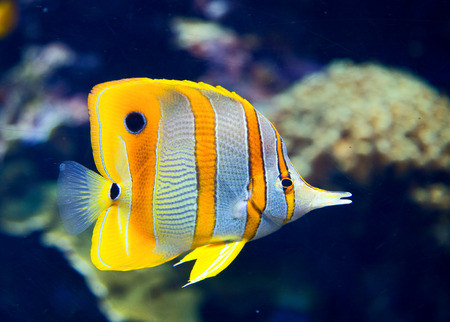 live coral: Copperbanded butterflyfish Stock Photo