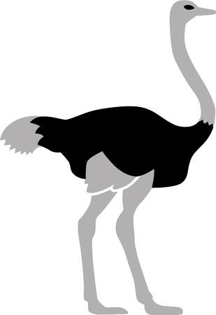 emu: Ostrich bird