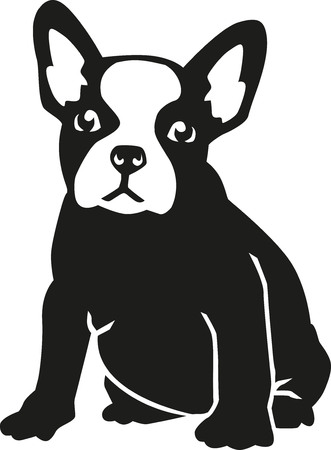 french bulldog: Sitting French bulldog