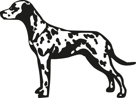 spotted dog: Dalmatian spotted coach dog