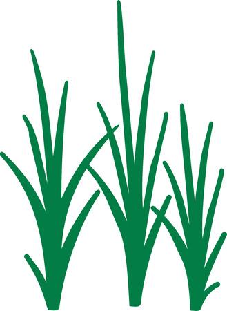 cattail: Reed grass