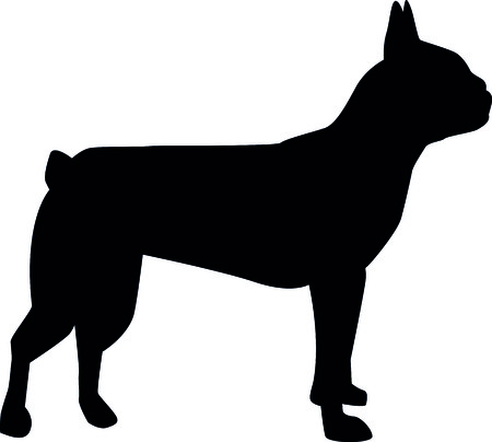 Boston terrier silhouette real in black illustration. 일러스트