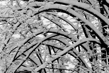snow covered branches arcs