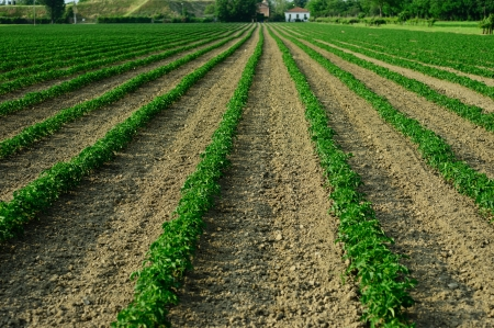 Rows of plants in a country field Stock Photo