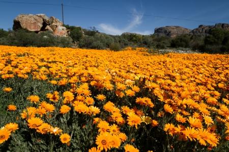 bright orange flowers field