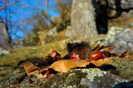 Chestnuts and moss in Monte Amiata, Tuscany