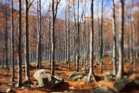 Beech trees and autumn foliage