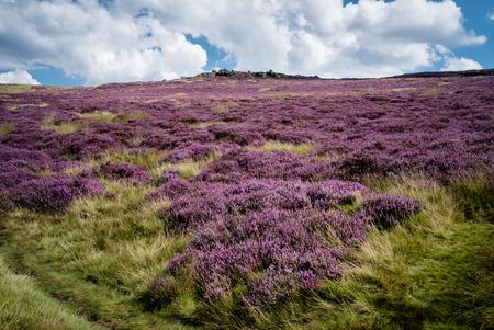Purple Heather in het Peak District