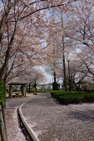 Sakura Cherry Blossoms Park photo