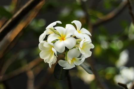 nifty: Witte Plumeria goed uitziende vergelijkbaar met soortgelijke mooi meisje voor U