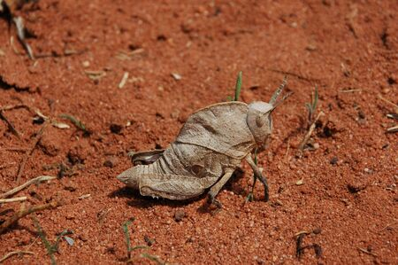 Side view of a special Grasshopper sitting on red sand Tanzania.