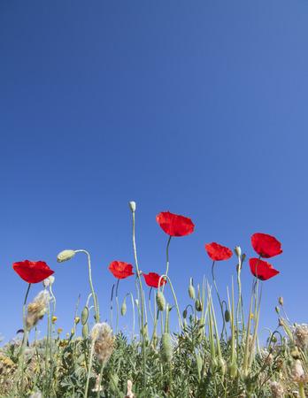 Poppies in Turkey photo