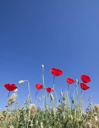 Poppies in Turkey