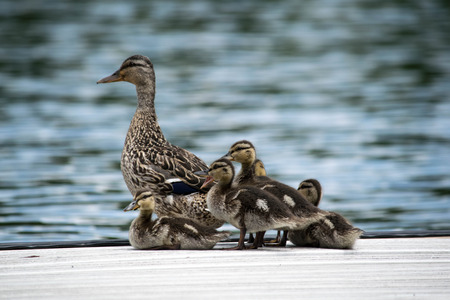 fish pond: Babys duck with mother duck