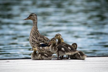 pato: Pato Babys con la madre de pato