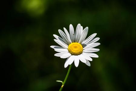 leucanthemum: Shasta Daisy white flower yellow center green background Leucanthemum superbum Stock Photo