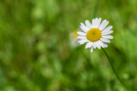 shasta daisy: Shasta Daisy white flower yellow center green background Leucanthemum superbum Stock Photo