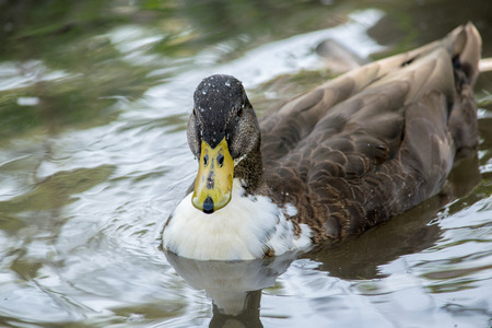 dabbling duck: Pretty duck in a pond Stock Photo