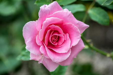 Pretty pink flower rose blood beautiful