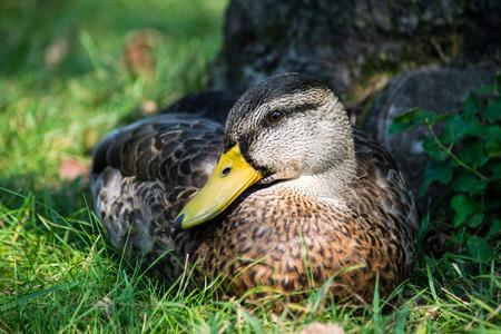 honking: Mallard duck head markings beautiful bird