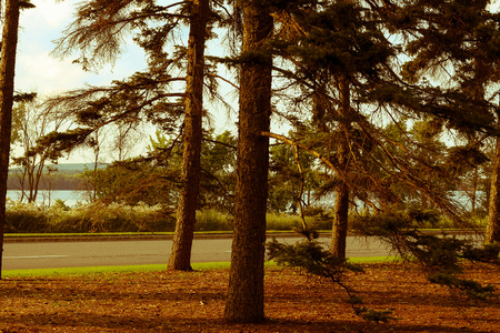 evergreen trees: Evergreen trees on a grassy plain in front of a quiet road and a body of water at sunset.