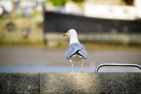 devon: Seagull in Bideford, Devon, UK