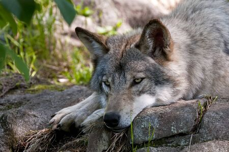 Grey Wolf laying down on a rock.