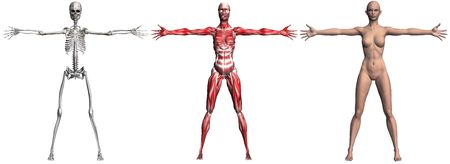 skeletal muscle: Anatomical illustration of the skeleton and muscles of a human female. 3D render.