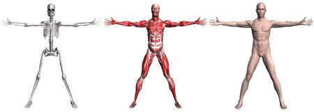 Anatomical illustration of the skeleton and muscles of a human male. 3D render.