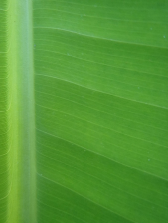 Banana leaf background Banco de Imagens