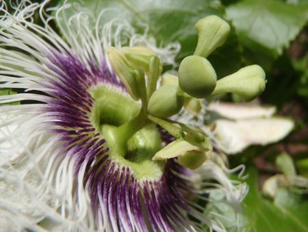 Close up of the stamens and stigma of a passion fruit flower