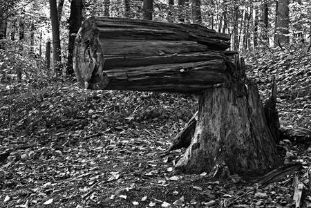 Ein abgeknickter Baum in Form einer Waffe Standard-Bild - 88610942