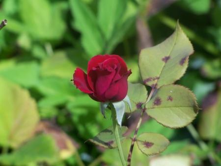 赤いバラのつぼみ