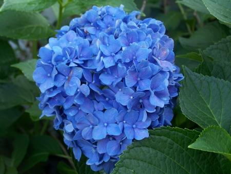 californian: Ceanothus Trewithan Blue  Californian Lilac