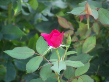 小さな赤いバラつぼみ 01