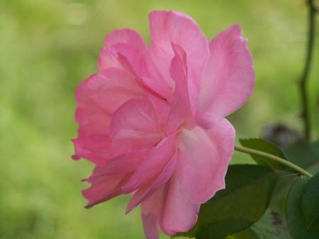 太陽の光でピンクのバラ