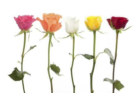 Row of five roses in pink, orange, white, yellow and red Stock Photo