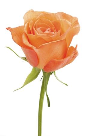 Single orange rose, isolated on white background